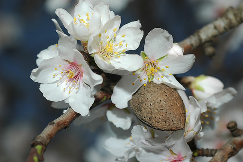 миндаль цветет