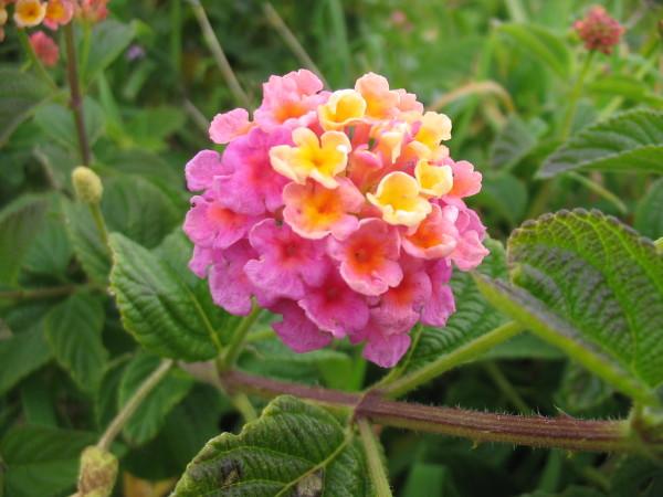Lantana_camara_(Flower)