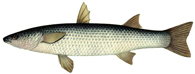 Ах, эта вкусная туристка: рыба пеленгас