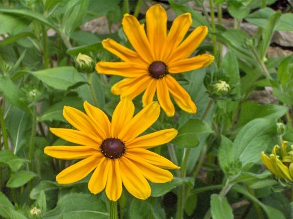 maryland-md-state-flower-black-eyed-susan